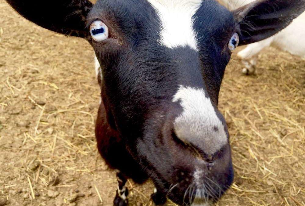 A Lost Calf and a Powerful Spiritual Lesson