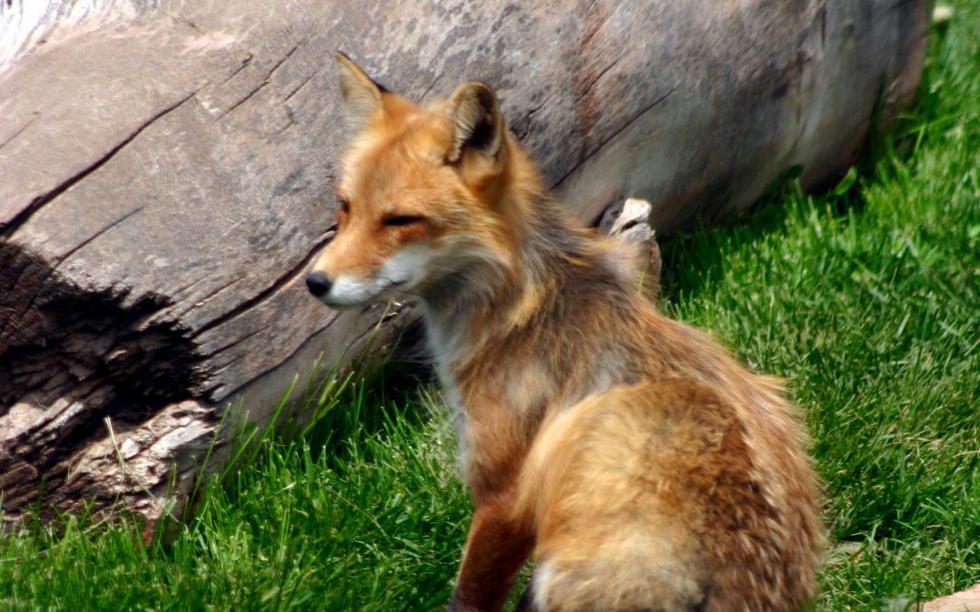 A Red Fox and His New Life