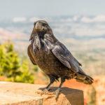 A Grateful Crow