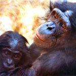 "Who Knew? Chimps Sing ""HU."""