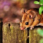 A Mouse's Karmic Trap