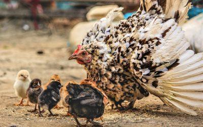 A Little Hen Saves Her Chicks