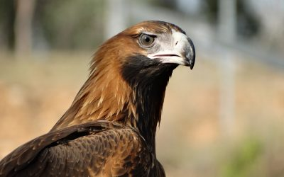 Free as a Wedge-Tailed Eagle