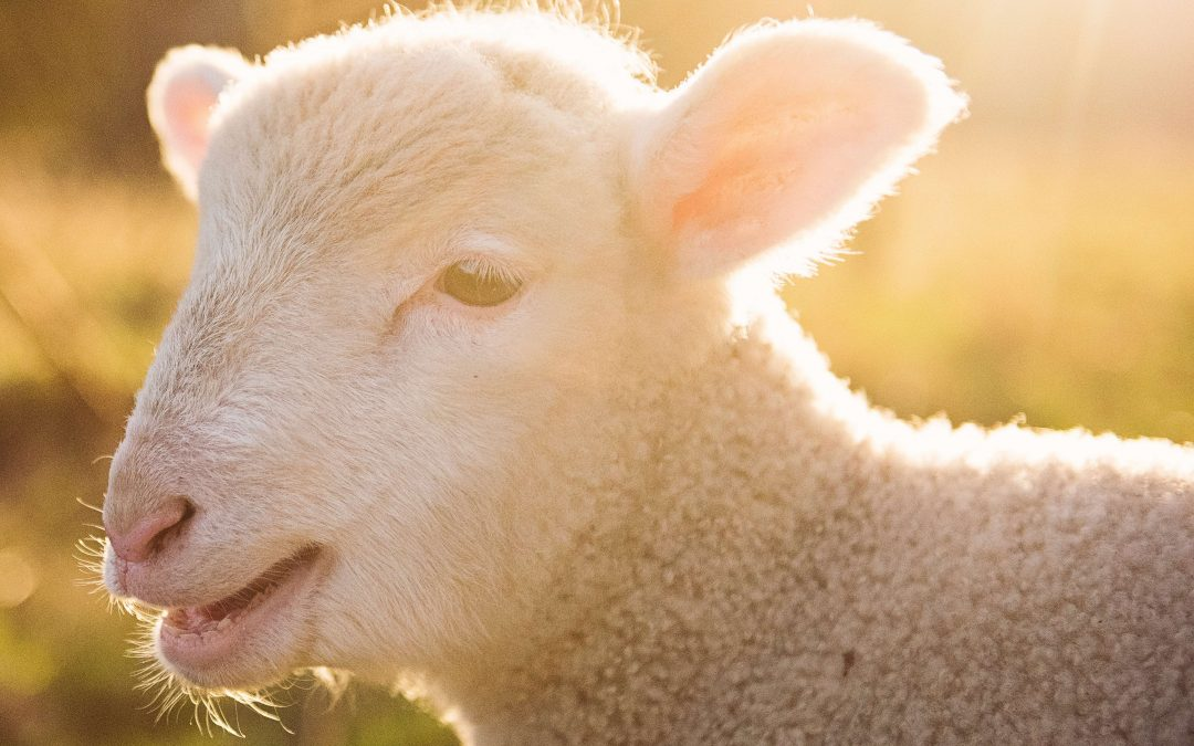 What Is a Lamb's Life Purpose?