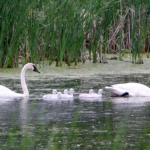 A Swan Family