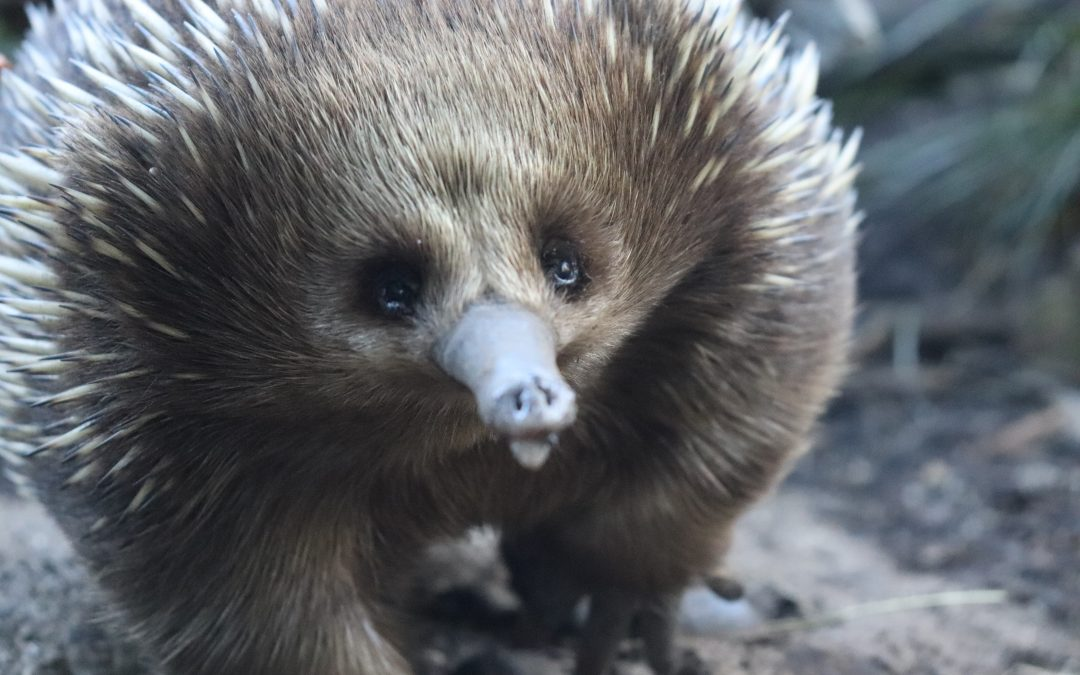A Town Slows Down to Save an Echidna