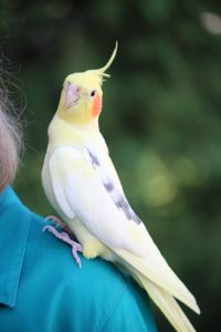 """alt=""""Yellow cockatiel bird with orange cheek, single gray feather, and black eyes looks into camera while perching like 'Sunshine on My Shoulders makes me happy' on green dress shoulder of female bird owner"""""""
