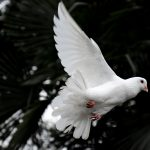 The Grateful Dove