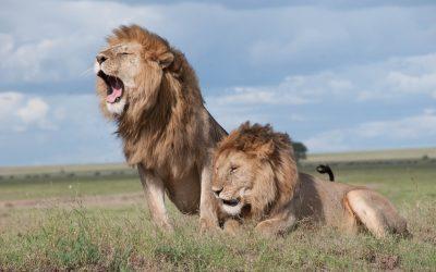 Homesick for the Lions of Kenya
